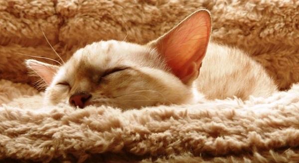 {#cat-kitten-bengal-snow-spotted-sleeping.jpg}