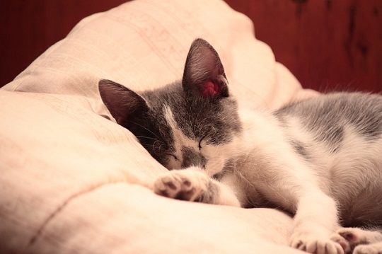 {#cat-feline-cats-siamese-kitten-cat-wood-sleep.jpg}